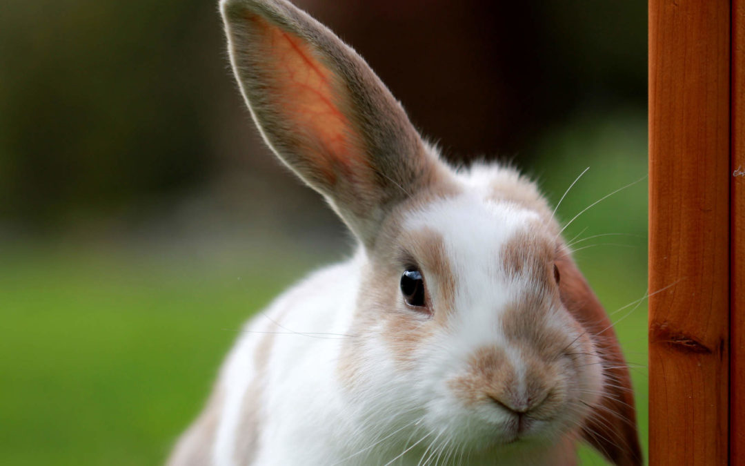 Nejlepší pamlsky pro králíčky a morčata
